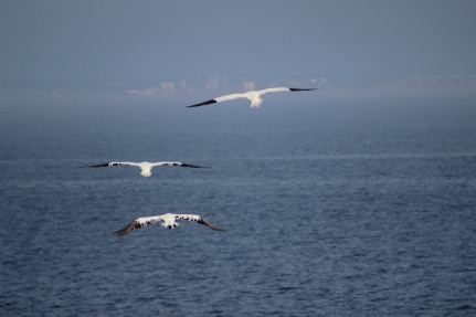 Three gannets.JPG