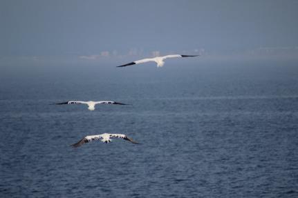 Three gannets.JPG