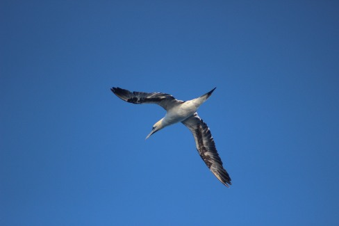 Juvenile gannet (2).JPG